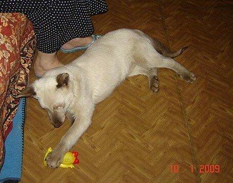 собака сиамского окраса