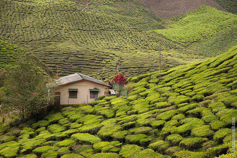 чайные плантации, tea plantations, Cameron Highlands, Malaysia