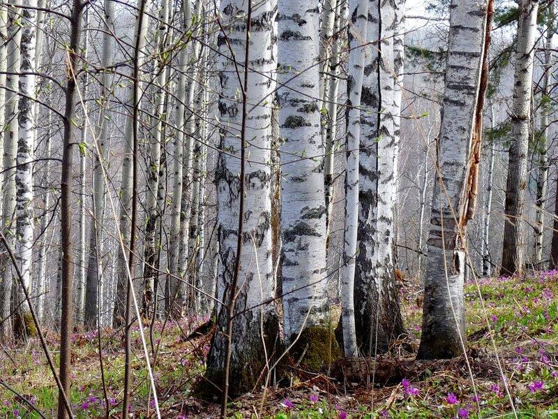 Весна в берёзовой роще