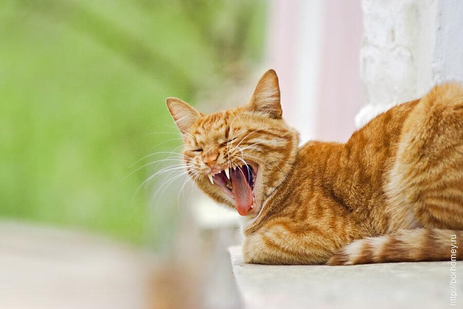 рыжий кот зевает
