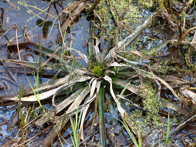 Телорез обыкновенный, или алоэвидный Stratiotes aloides