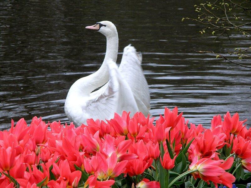 Лебедь из цветов видео