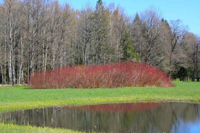 Красный кустарник