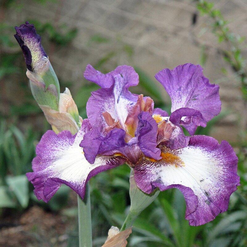 Крым,весна,Людочкин сад,цветы,ирис