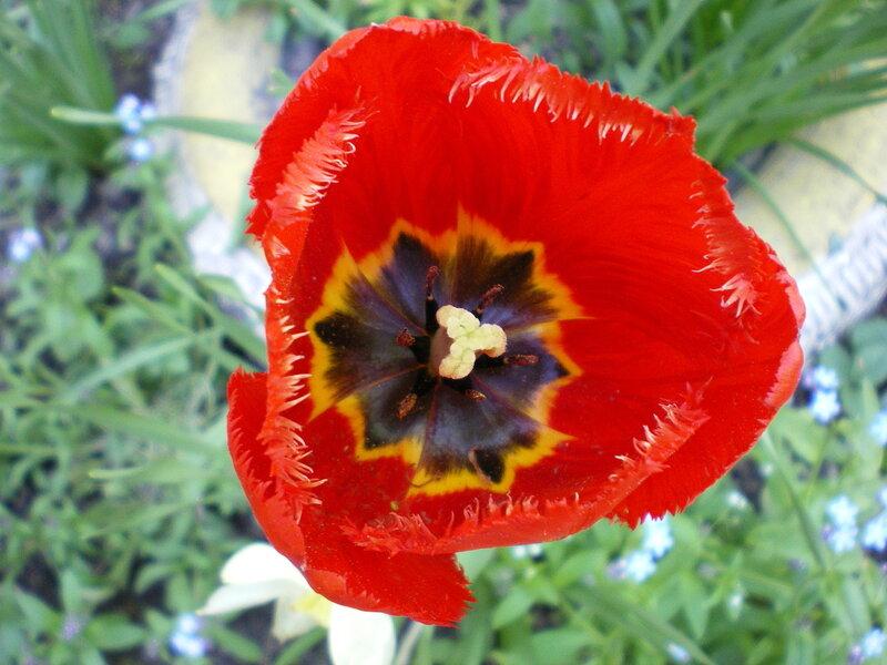 Первые тюльпаны.