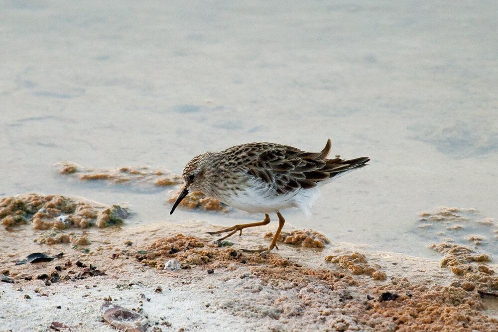 Песочник-крошка (Calidris minutilla)