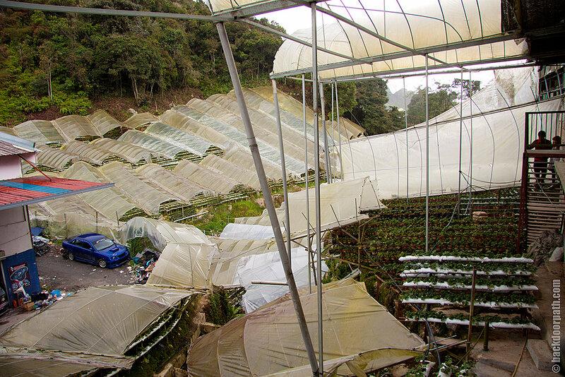клубничные фермы, Cameron Highlands, Malaysia