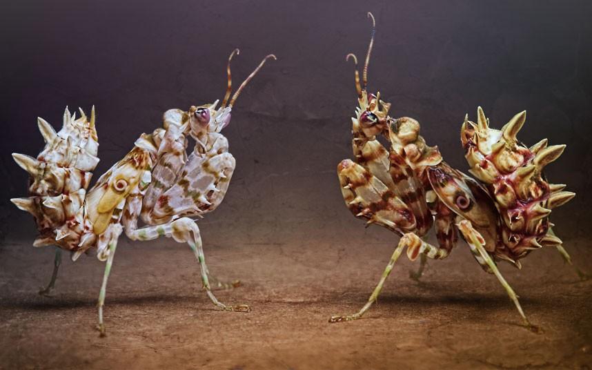 Гусеницы бабочки мертвая голова