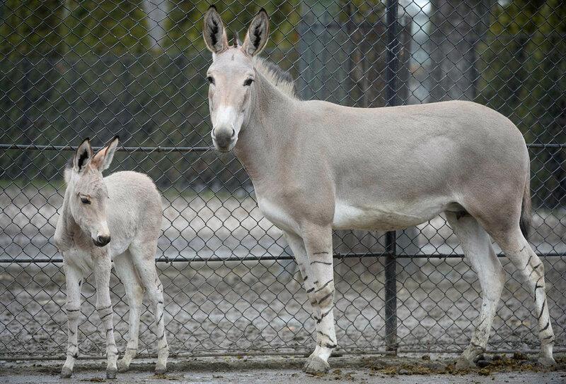 Новорожденный дикий сомалийский осел в зоопарке Варшавы
