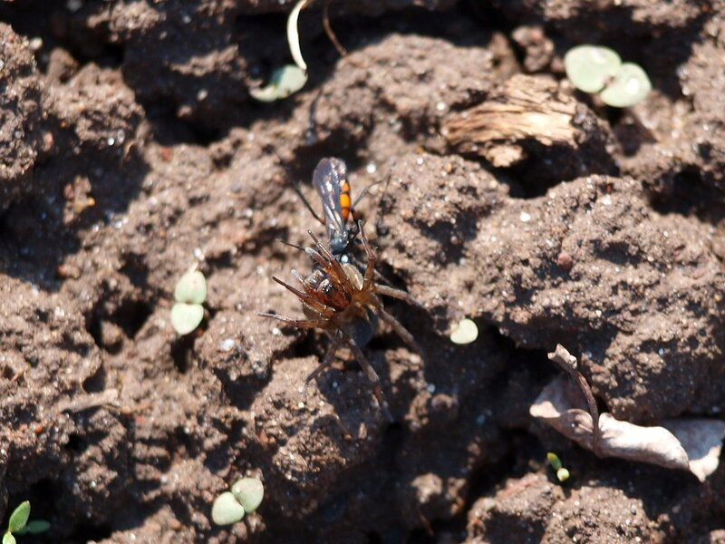 земляная оса тащит парализованного паука