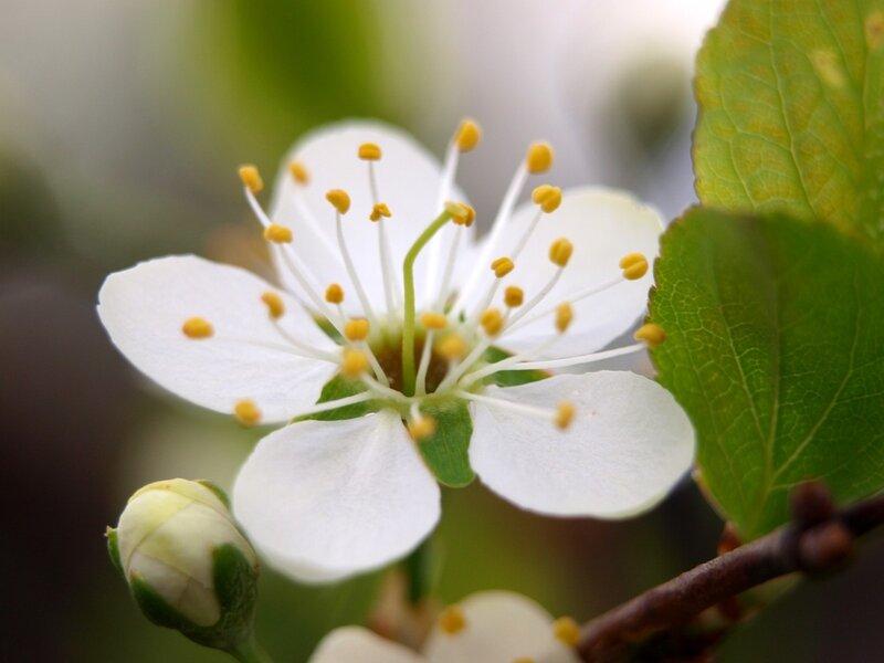 сакура цветущий тёрн P5132342.jpg