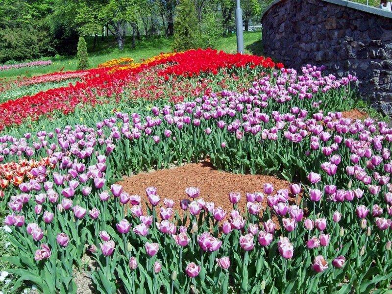 Вторая выставка тюльпанов на Певческом поле