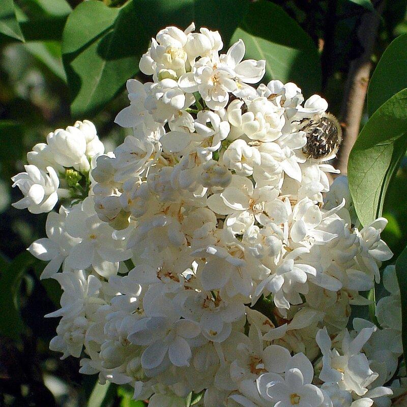 Крым,весна,Алупка,Людочкин сад,сирень
