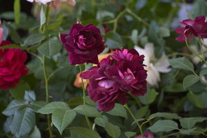 Саженцы роз Harkness в горшках 2012