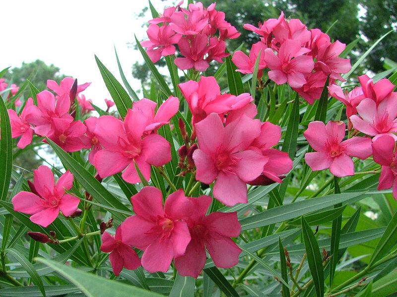 фото цветок олеандр: