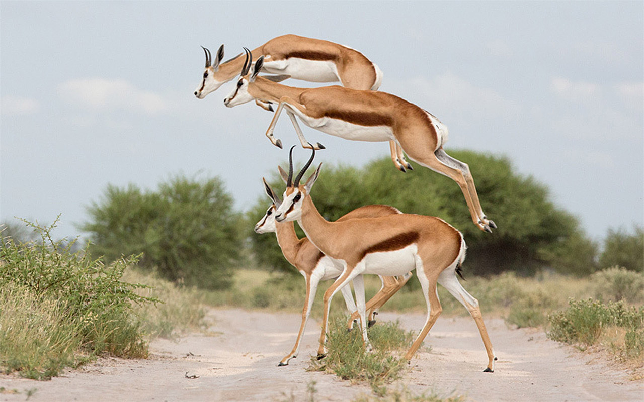 Male springboks show off their superior leaping prowess in order to appeal to the opposite sex. Калахари