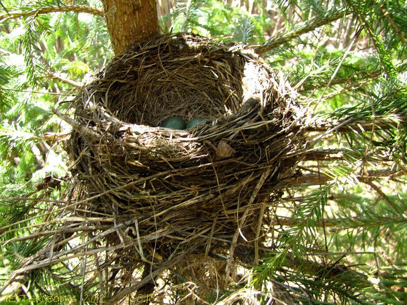 1168.18 Гнездо рябинника