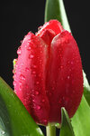 Bouquet of red tulips 04.jpg