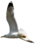 feli_syd_flying seagull3.png