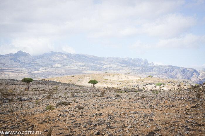 Сокотра, Драконовые деревья