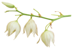 «whitebell flowers»  0_879ab_eb86ee60_S