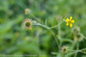 s:травянистые,c:желтые,лепестков 5,околоцветник актиноморфный,l:сложные