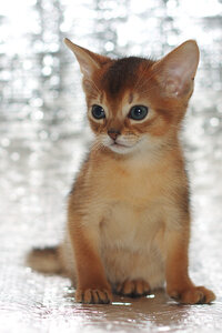 Абиссинский котенок — кошка дикого окраса