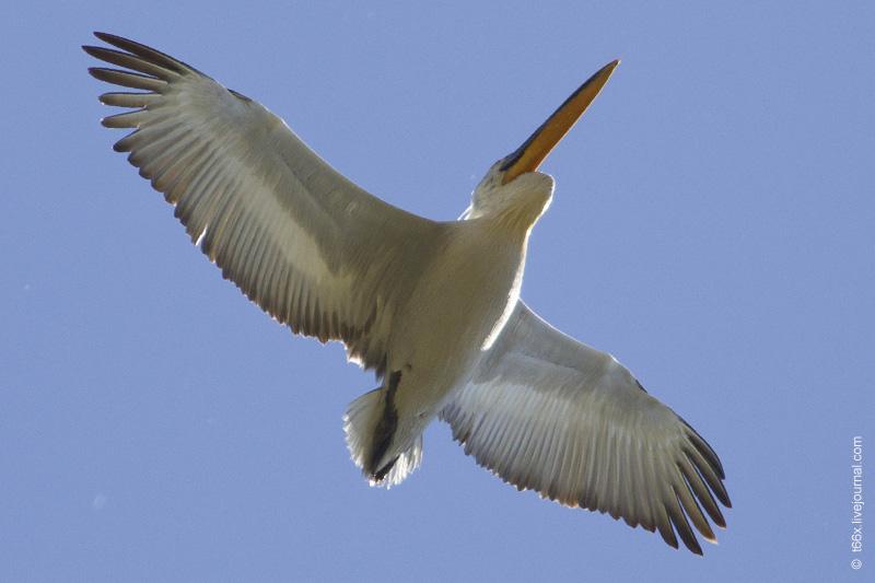 Птицы Курлады, кудрявый пеликан