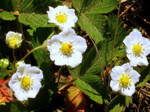 Земляника цветёт