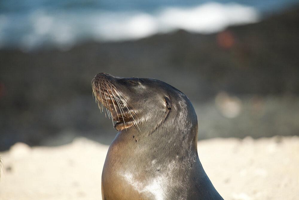 Галапагосский морской лев (Zalophus wollebaeki)