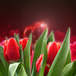 Bouquet of red tulips 06.jpg