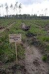 лесопосадки Шатура дуб Агаджановой.jpg