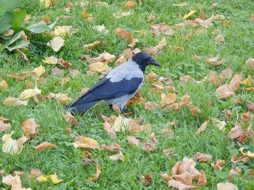 ворона-орехоискатель