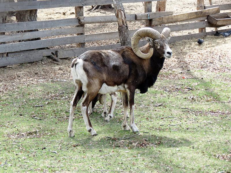 Боровое, Музей Природы, зоопарк, архары - 2012 год. Комментарии к фото - Кокшетау Онлайн