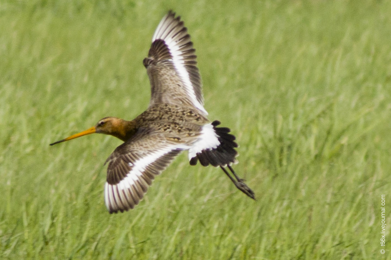 Птицы Курлады, большой веретенник