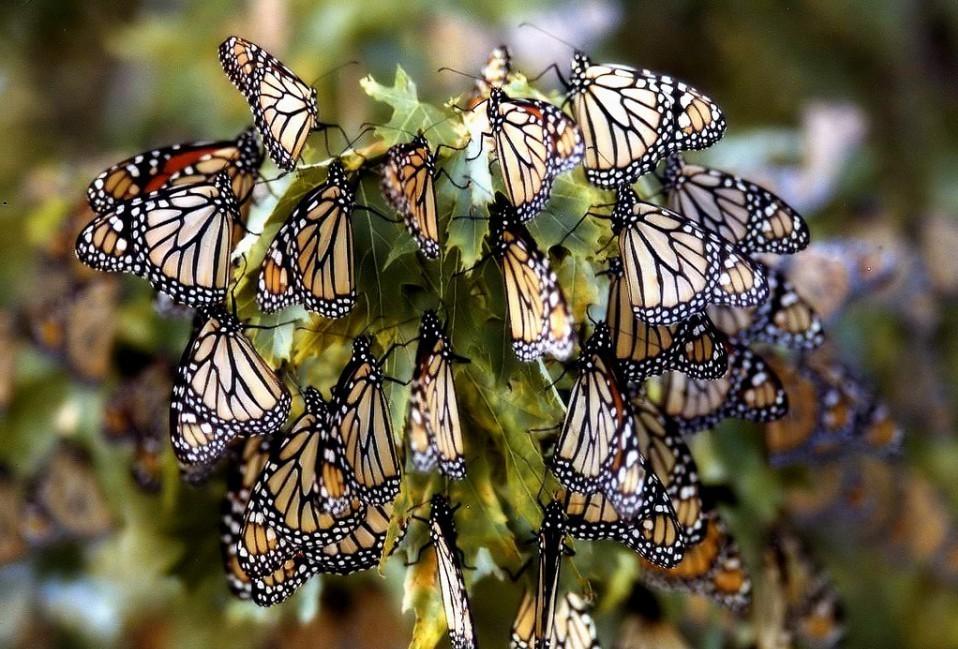 Очевидцы пишут, что бабочка очень распространена в своем регионе, но