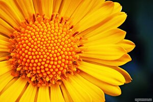Опус 103531 (цветок)