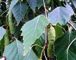 Листья и серёжки