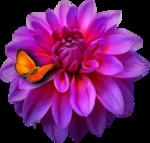 SvB Dahlia met vlinder.png