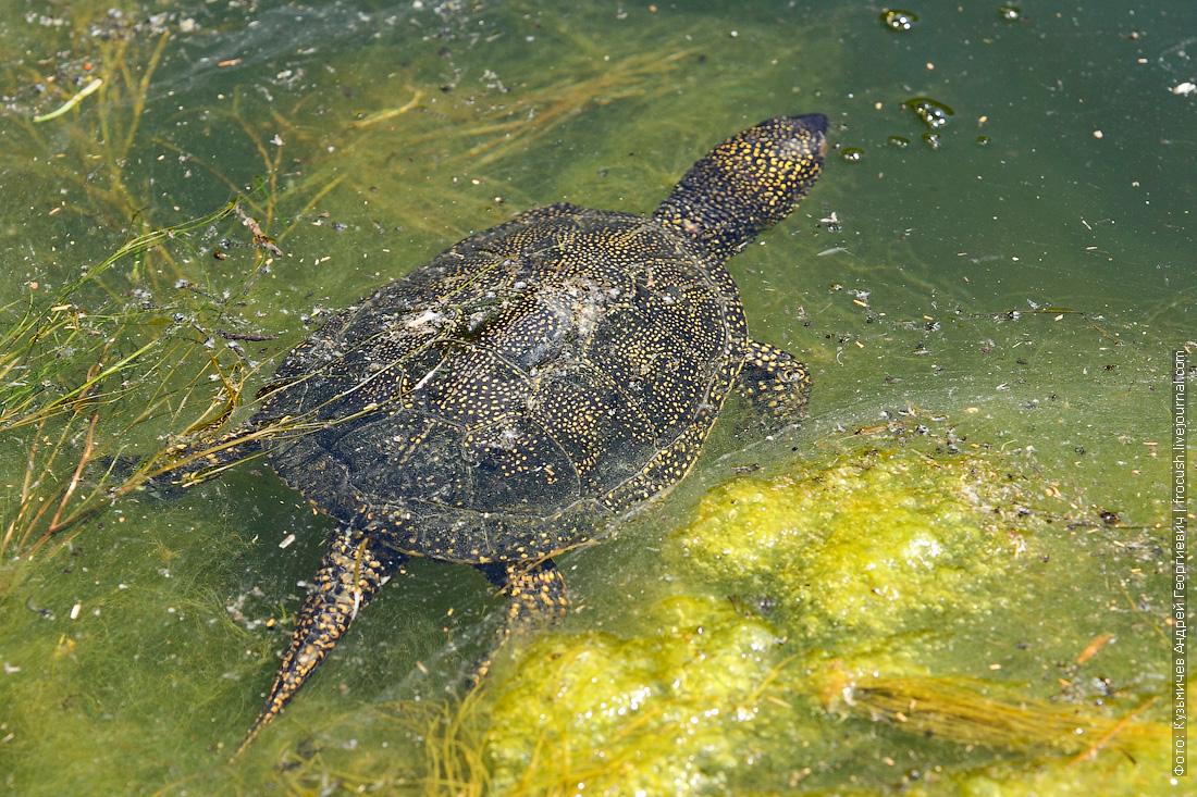 водно-болотная черепаха каньон Саура