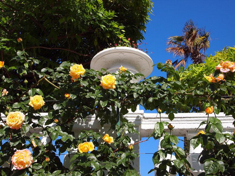 Розы цветут в Никите