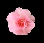 «Oh_Rose»  0_87864_c4c0b3ac_S