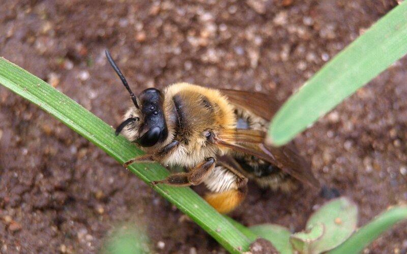 Пятиглазая пчела