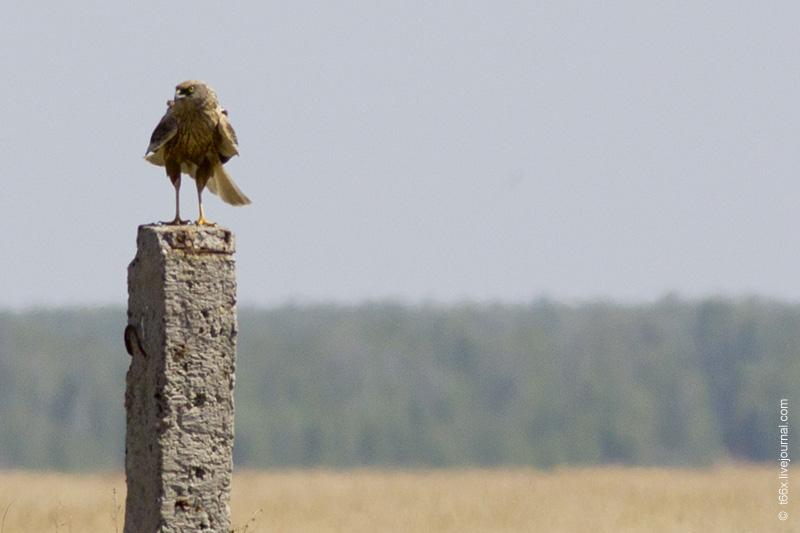 Птицы Курлады, болотный лунь
