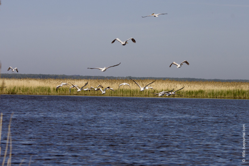Птицы Курлады, пеликаны Челябинск
