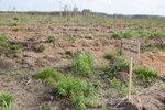 лесопосадки Шатура дуб Чесноковой_2.jpg