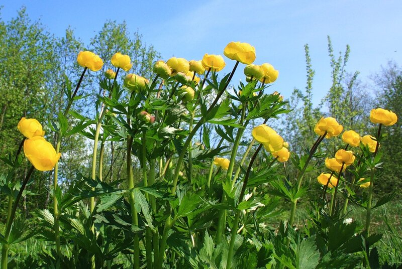 kirill-batalow Купальница Европейская весна купальница купальница европейская май природа цветы.