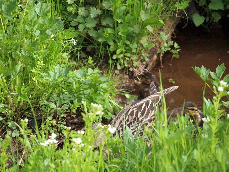 утка с утятами прячутся в зарослях
