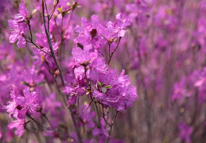 Розовое чудо весенней природы! Цветение багульника!