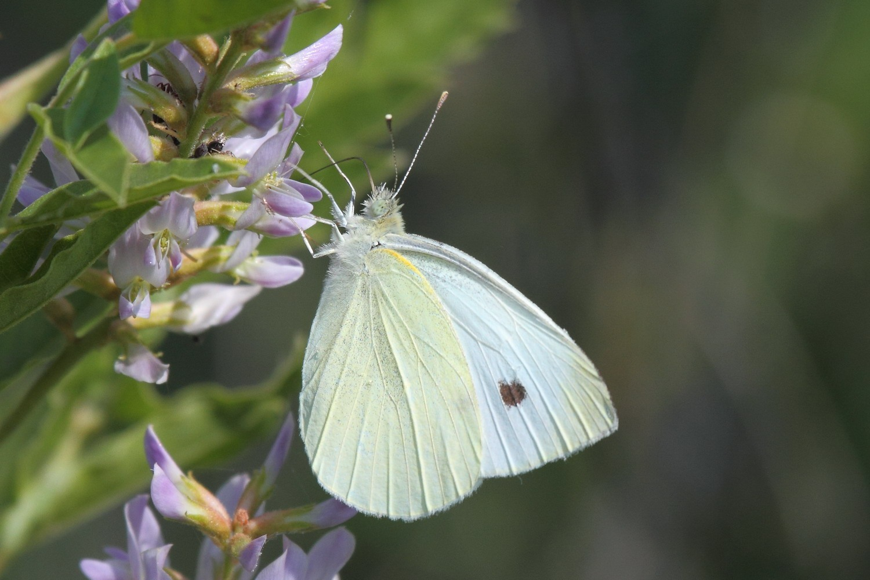 Белянка репная (Pieris rapae)